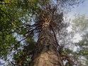 Přímá borovice nedaleko Píšťaly.