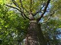 Lužní dub v teplé oblasti je ještě na konci října plný zeleně.