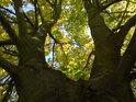 Javor v podzimním šatu.