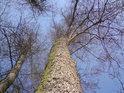 Některé olše tu opravdu zesílí a stanou se z nich mohutné stromy.