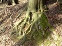 Odkrytý bukový kořen.
