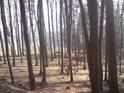 Buky a modříny tvoří podstatnou část místních dřevin.