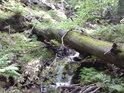 Přirozený most přes horský potok z padlého buku.