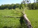 Tento topol, na okraji lesa rostoucí, si nedávno lehl do levobřežní nivy řeky Moravy.