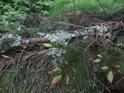 Lišejník na smrkové větvi.