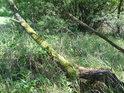 Pobřežní dřeviny u Býkovického rybníka.