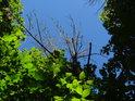 Nad živými listy ční souška stromu, kontrastující proti modré obloze.