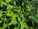 Mladé bukové listí jasně zelené na sluníčku, to vždy oko potěší.