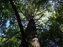 Statná borovice mezi listnatými stromy.