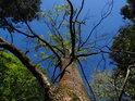 Usychající jasan ční oproti modré obloze.