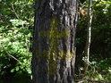 Dvojitý žlutý kříž na drsné borovici.