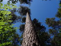 Přímá borovice na kraji boru a vedle bukové listy.