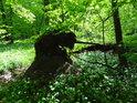 Habrový vývrat v lužním lese.