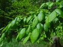 Habrové listy jsou zjara plné syté zeleně.