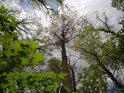 Pohled do korun směsice lužních stromů.