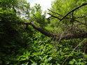 Prostupnost luhu je omezená, zde kopřivami a ležícími vrbovými větvemi.