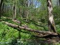 Popadané kmeny habrů přes vyschlé koryto potoka.