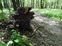 Vyvrácený kořen při lužní cestě v Polanském lese.