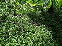 Slunce, prosvětlené habrové listí tvoří milou stříšku nad lužním podložím, plném medvědího česneku.