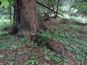Lesní jetel kolem paty smrku.