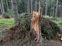 Zpracované dřevo je již pryč, pahýl smrku a jeho větve jsou na místě.
