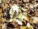 Směsice padlých listů bukových i dubových.