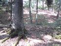 Bukové kořeny obrůstají mechem.