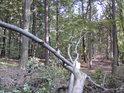 Pohled přes usychající padlé bukové větve do lesa.