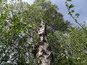Bříza ční nad ostatní malé stromy, zejména topoly.