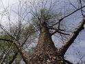 Mohutná olše patří k základním lužním stromům.
