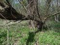 Jeden z kmenů vrby se spirálovitě kroutí a roste poněkud do strany.