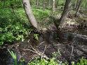 Dvojice středních olší zpevňuje břeh pomalého vodního toku.