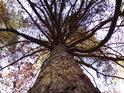 Hojně rozvětvená, zde všude přítomná borovice.