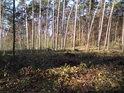 Přesypy u Rokyta tvoří především borovice.
