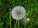 Odkvetlý pampeliškový květ, na vítr čekající, aby se mohla roznést semena do širého okolí.