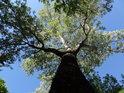 Mohutný topol bílý v parku Střelnice, ovšem právě tento strom dokáže z člověka energii doslova sát.
