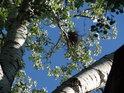 Hnízdo vrány na topolu bílém v parku Střelnice.