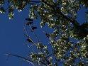 Čtvero havranů na větvi topolů sedících.