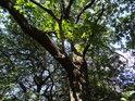 Jeden z dubů na vrcholu Hradiště u Habří.