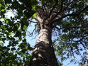Jedna z mála borovic na vrcholu Hradiště u Habří.