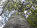 Pohled do koruny bukového siamského dvojčete.