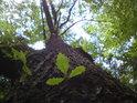 Jeden z mnoha místních dubů.