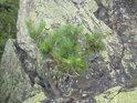 Na skalách se dokáže uchytit i strom, ale o ideálních podmínkách k životu tu nemůže být řeč.
