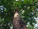 Jeden z mnoha dubů na severním svahu Radobýlu.