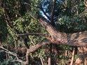 Pokud se vrba zlomí a větve dopadnou až na zem, tak mohou zakořenit a strom dále žije.