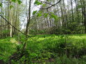 Průsek v habrovém lužním lese vypadá poněkud zvláštně, vlevo je ohraničený stružkou.
