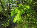 Mladé sytě zelené listy olše.