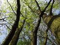 Spletité vysoké lužní duby.