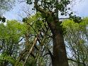 Žebřík mysliveckého posedu na dubu s výhledem na mladé jasany.