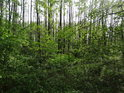 Lužní les se žene do výšky.